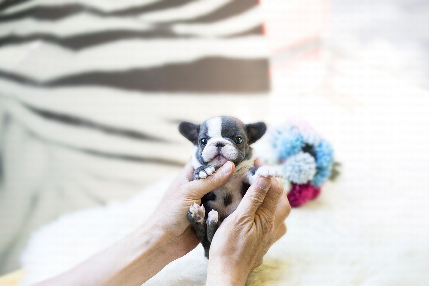 Main Image of Levi Blue Micro French Bulldog