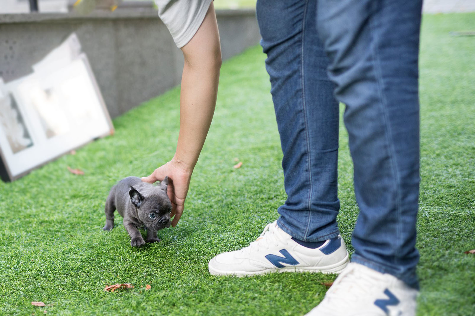 Thumbnail: Carter Blue Micro Teacup Frenchie