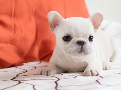 Molly White Micro French Bulldog