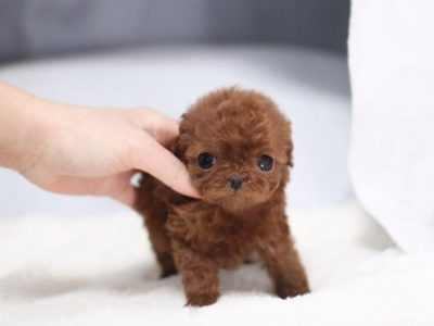 Peony Red Micro Poodle