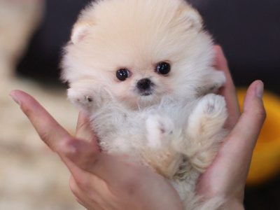 Pixie Cream Smoke Pomeranian