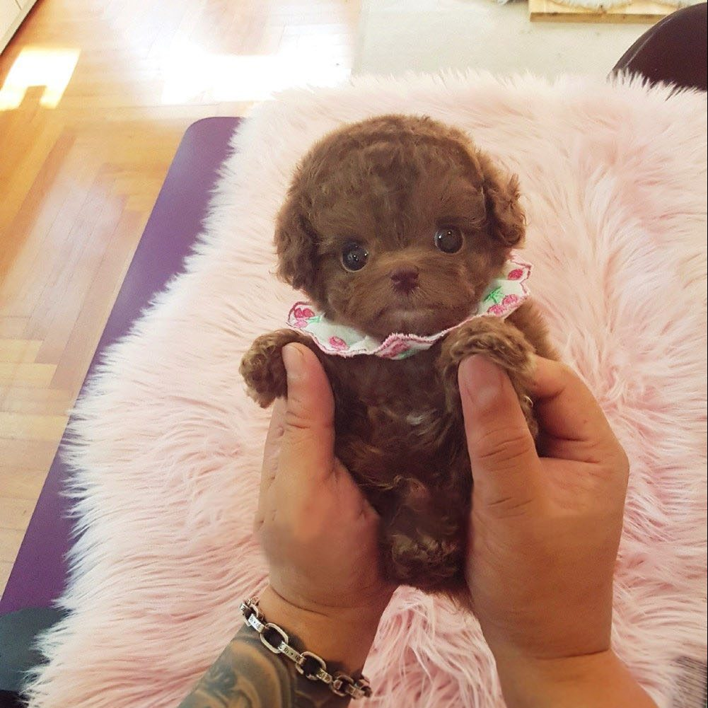 Main Image of Dash Red Teacup Poodle