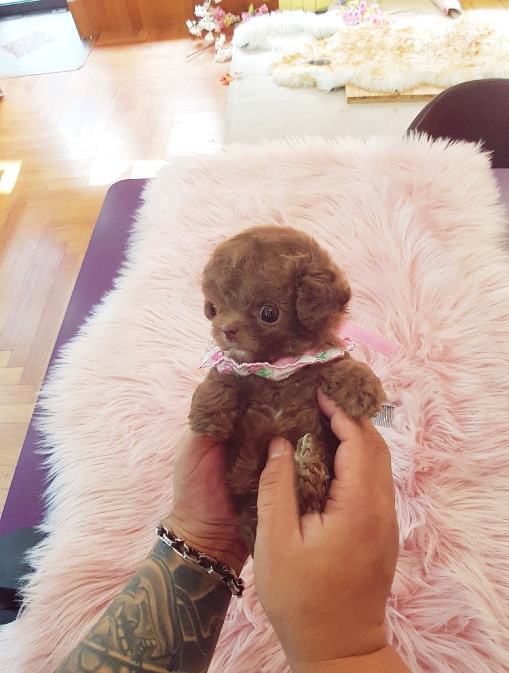 Thumbnail: Dash Red Teacup Poodle