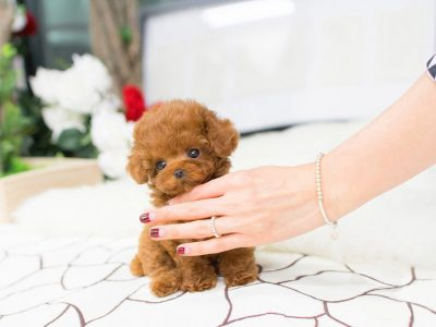 Bridget Red Micro Teacup Poodle