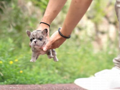 Rolly Merle French Bulldog
