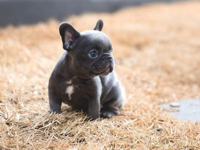 Smokey Blue French Bulldog