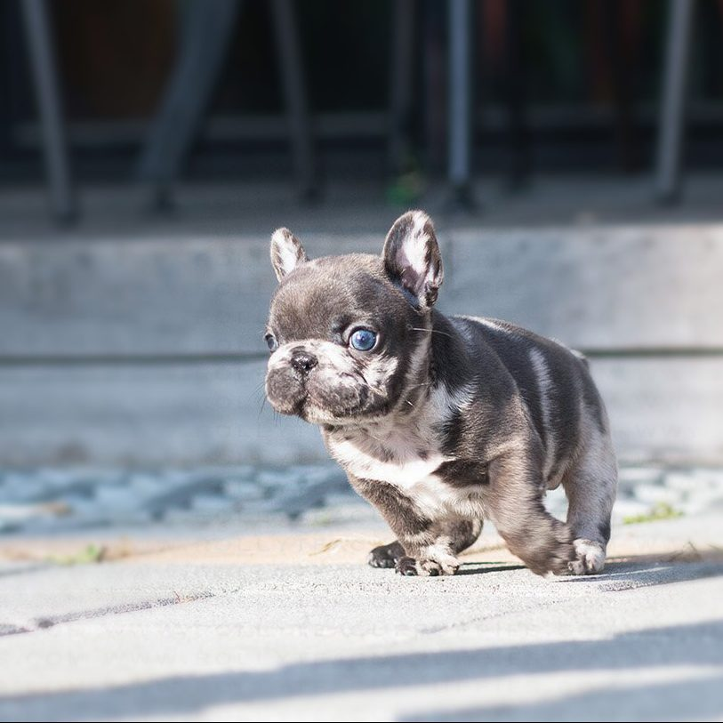 Thumbnail: Bumble Teacup French Bulldog