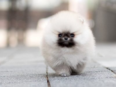 Teddy White Pomeranian