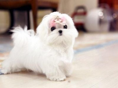 Melody Micro Teacup Maltese