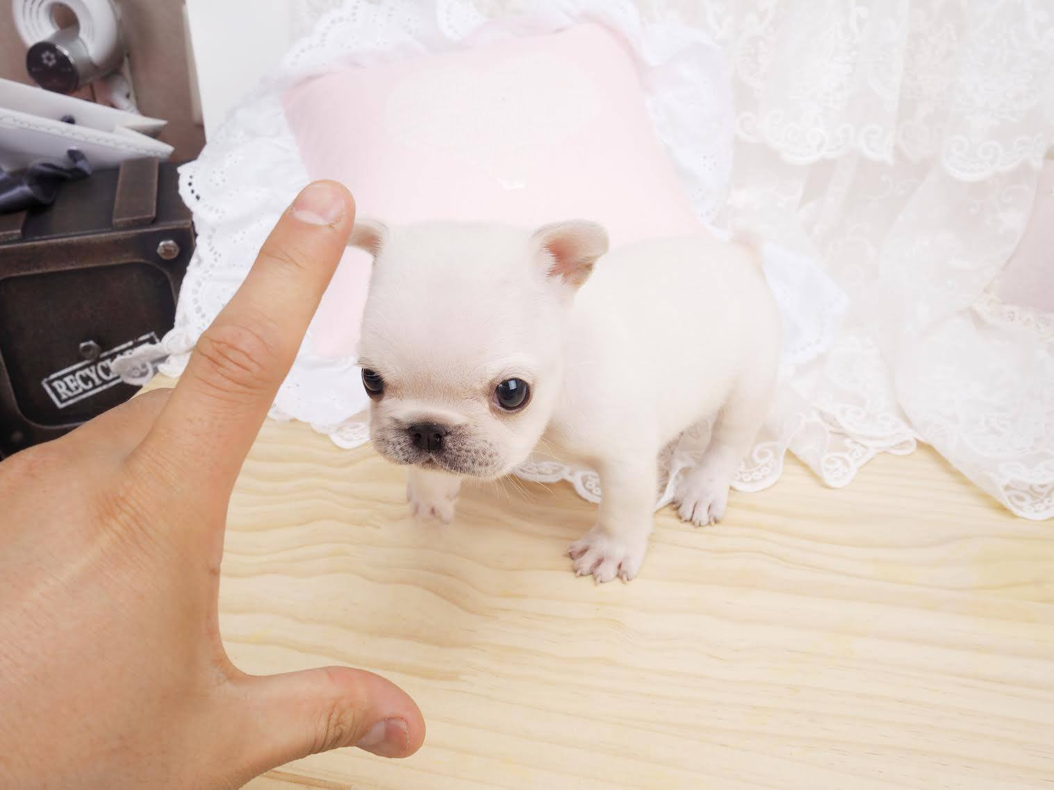 Main Image of Fiona White Teacup Frenchie