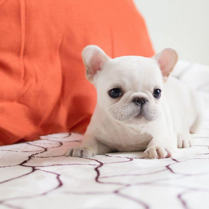 Main Image of Molly White Teacup Frenchy