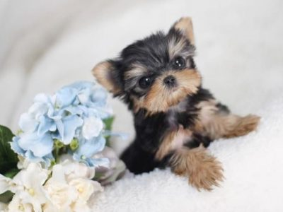 Elias Teacup Yorkie