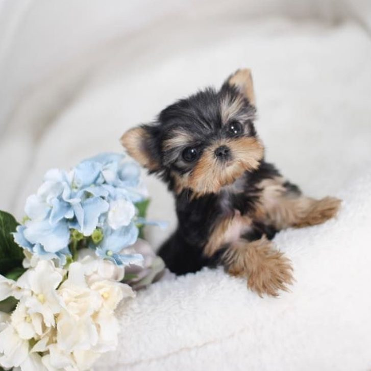 Main Image of Yale Teacup Yorkie