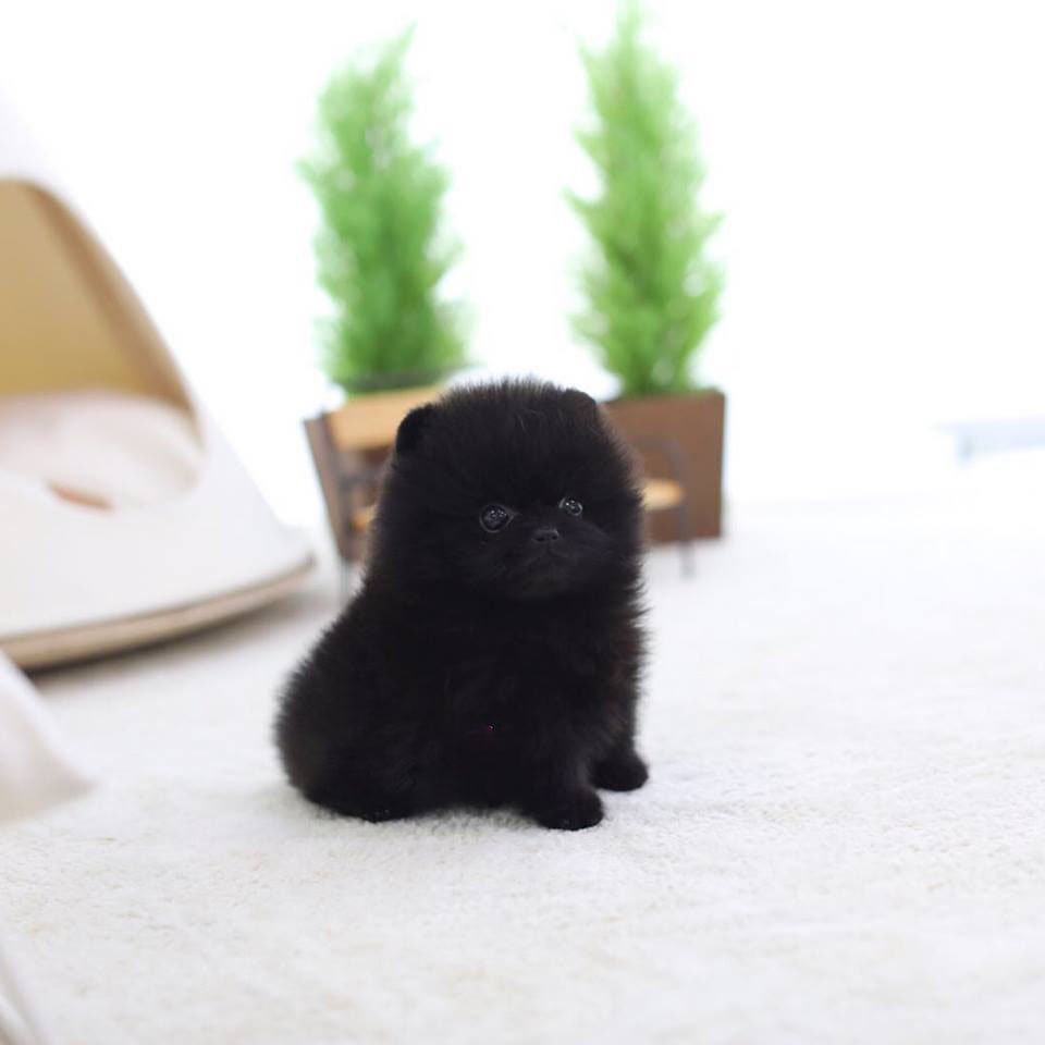 Main Image of Nate Black Micro Pomeranian