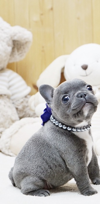Thumbnail: Faboo Blue Mini French Bulldog