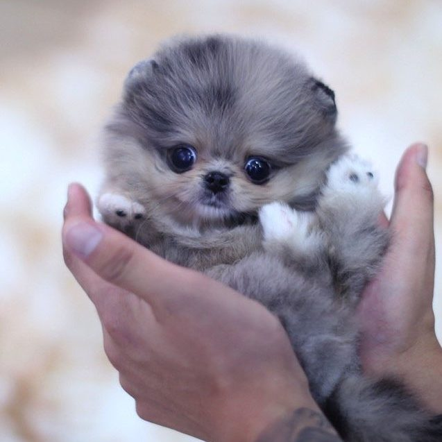 Main Image of Lexi Blue Pomeranian