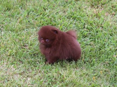 Charlotte Chocolate  Teacup Pom