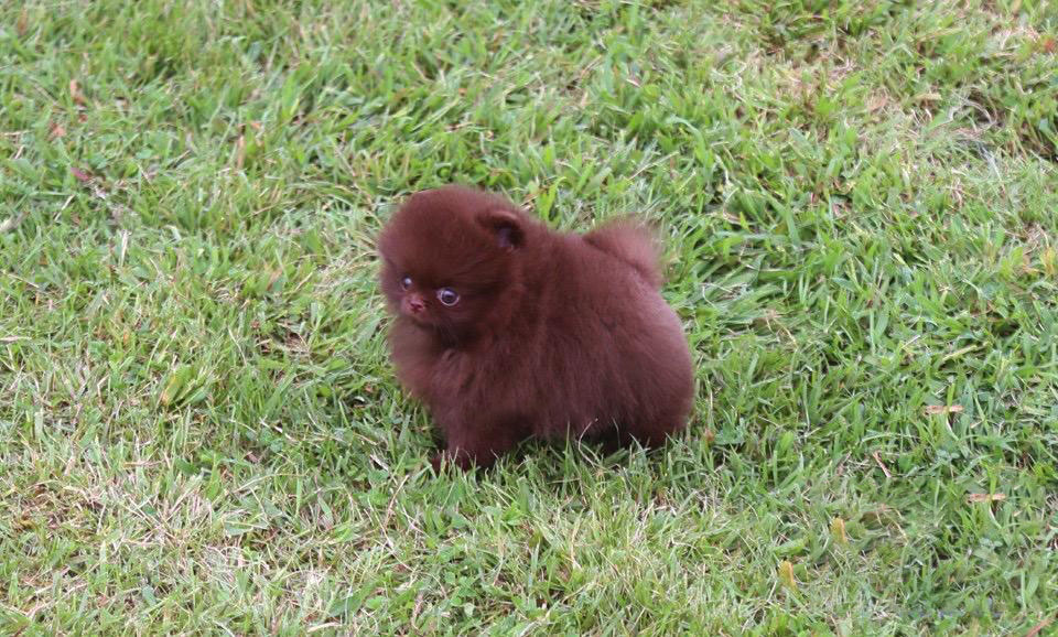 Main Image of Valencia Chocolate Pomeranian