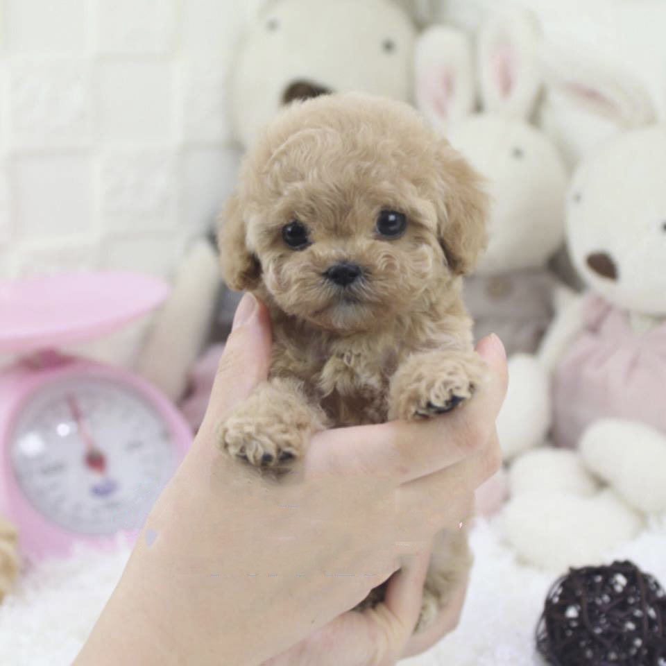 Main Image of Peanut Micro Teacup Cream Poodle