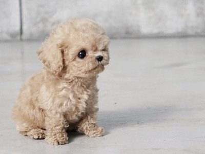 Pete Tiny Teacup Poodle