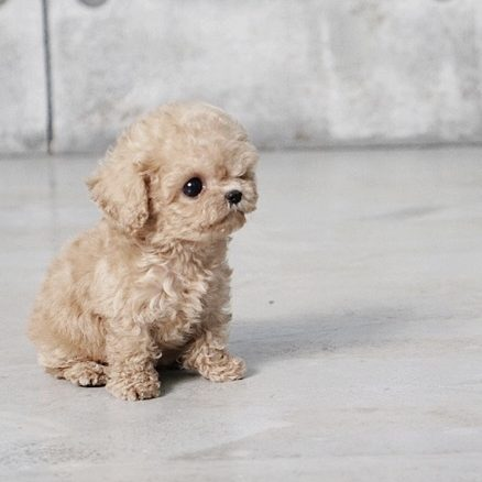 Main Image of Pete Tiny Teacup Poodle