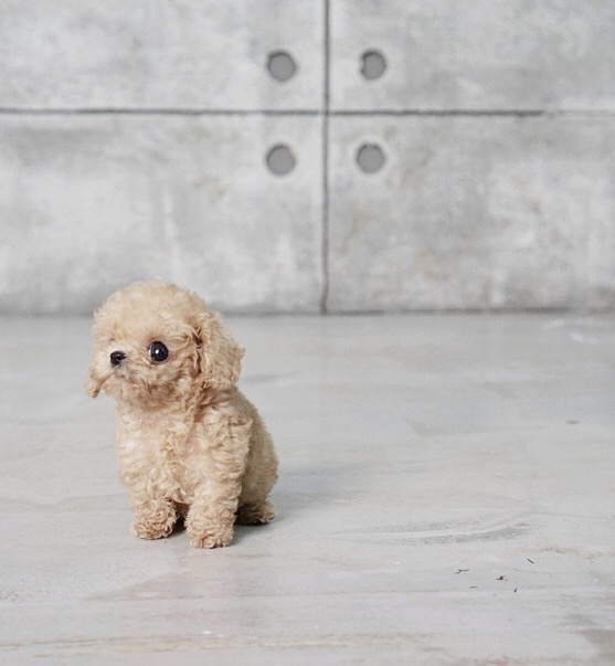 Thumbnail: Pete Tiny Teacup Poodle