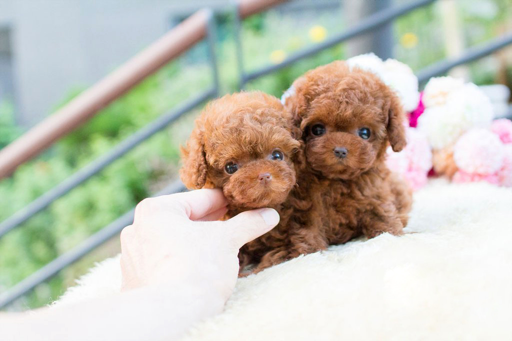 Main Image of Siblings Tiny Teacup Poodle