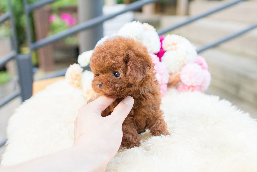 Thumbnail: Siblings Tiny Teacup Poodle