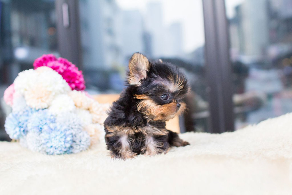 Thumbnail: Yolo Tiny Teacup Yorkie