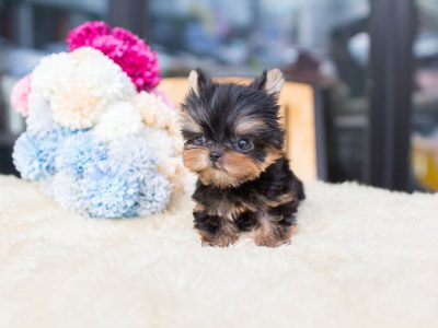 Yolo Tiny Teacup Yorkie