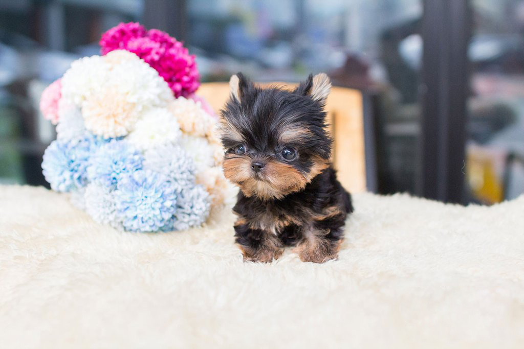 Main Image of Yolo Tiny Teacup Yorkie