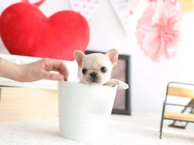 Fenty Mini French Bulldog