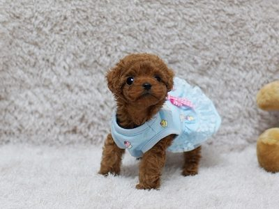 Pippa Red Teacup Poodle