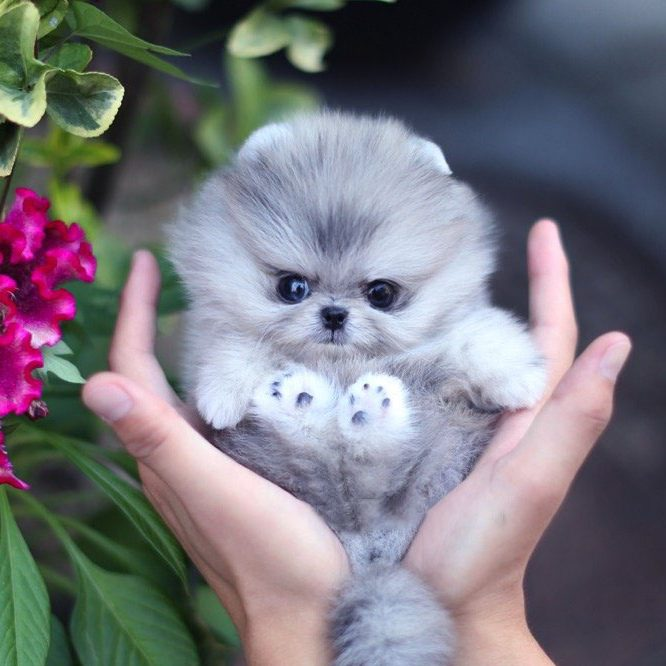 Main Image of Cuddle Blue Micro Pomeranian