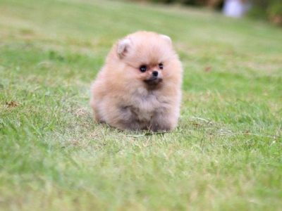 Honey Orange Pomeranian