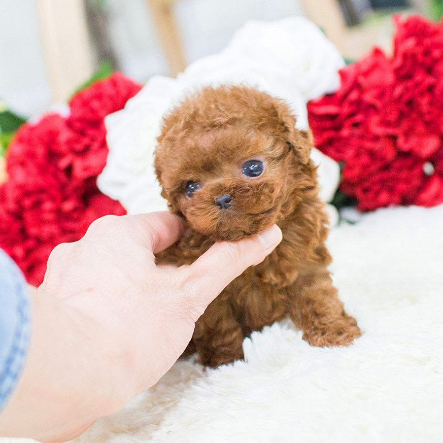 Main Image of Winnie Red Poodle