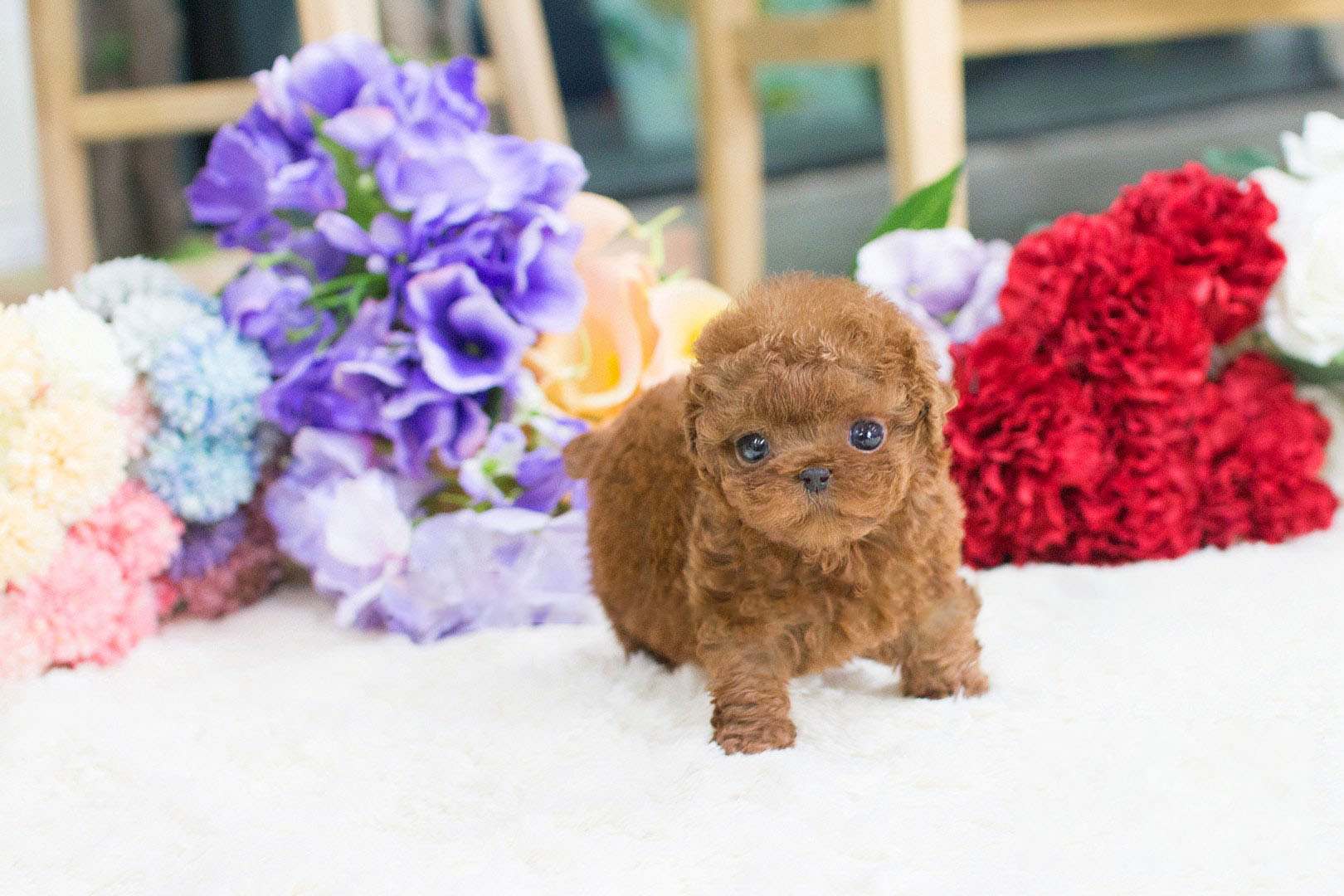 Thumbnail: Winnie Red Poodle