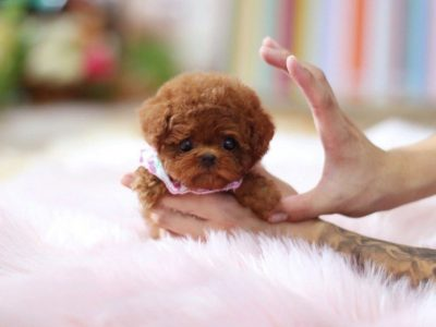 Rouge Red Poodle
