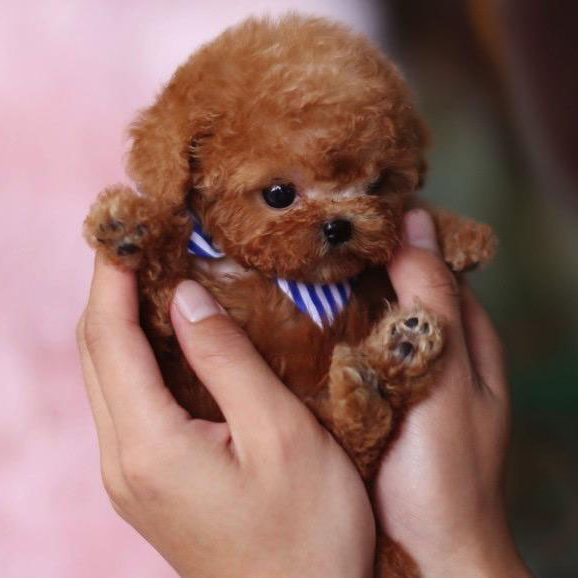 Main Image of Kalvin Chocolate Teacup Poodle