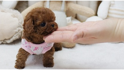 Thumbnail: Piper Red Micro Poodle
