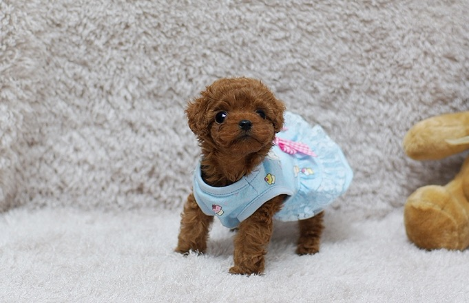 Main Image of Scarlett Red Teacup Poodle