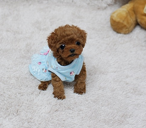 Thumbnail: Scarlett Red Teacup Poodle