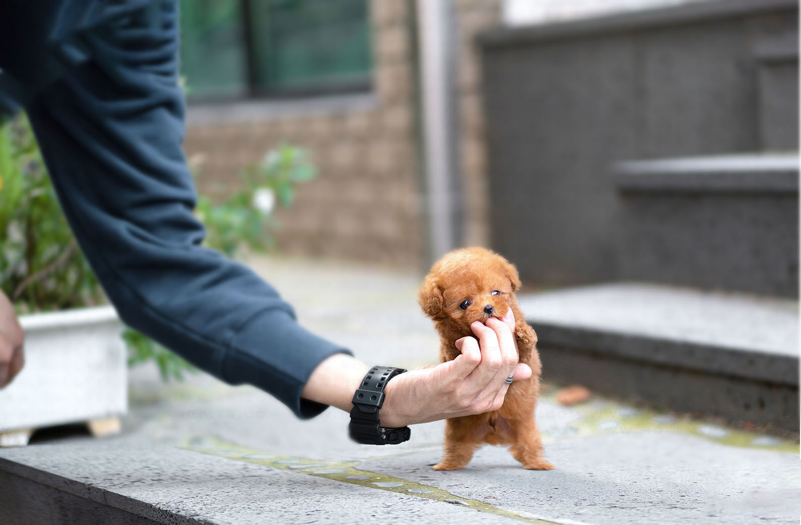 Thumbnail: James Apricot Teacup Poodle