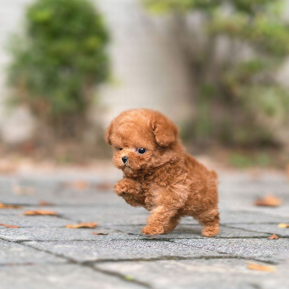 Main Image of James Apricot Teacup Poodle