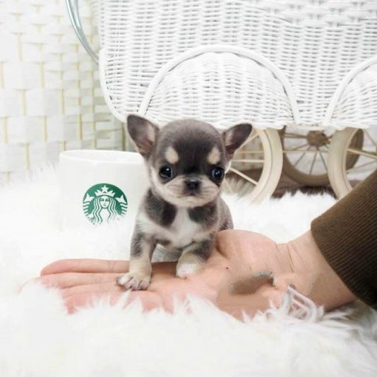 Main Image of Cheeta Blue Micro Chihuahua
