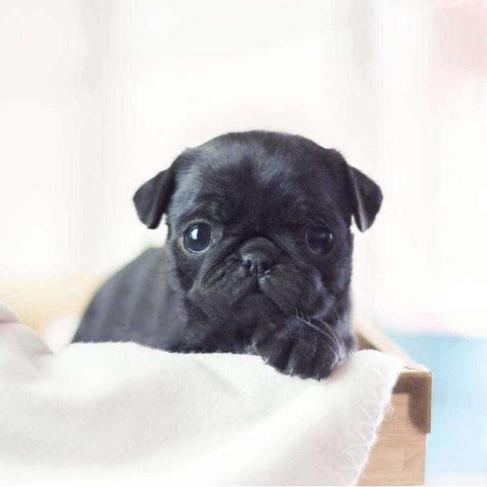 Thumbnail: Karl Black Teacup Pug