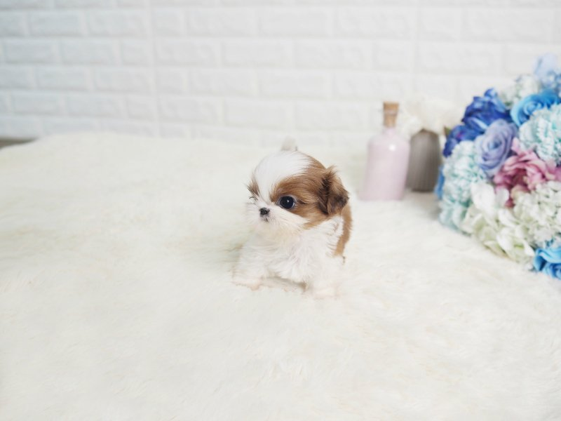 Main Image of Scooter Teacup Shih Tzu