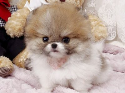 Nigel Teacup Pomeranian