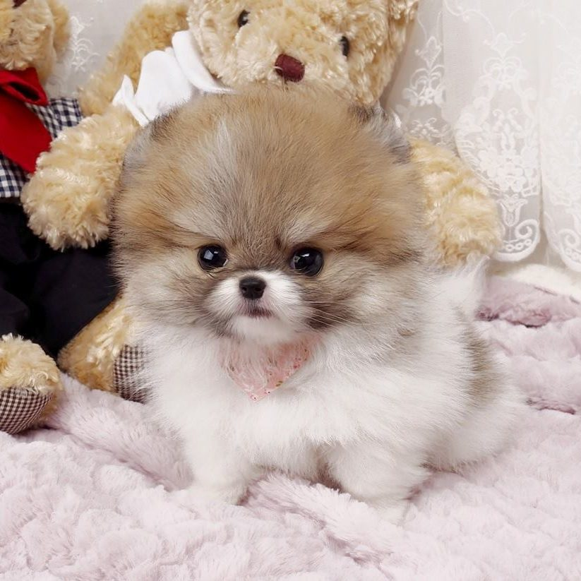 Main Image of Nigel Teacup Pomeranian