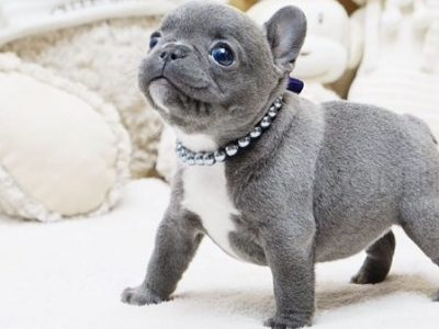 Faboo Blue Mini French Bulldog